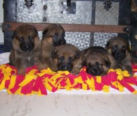 European German Shepherds German Shepherd Dog for sale/adoption