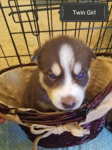 Siberian Husky Puppy Dog For Sale In Ravenna Ohio