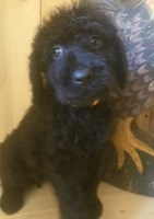 NAPR F1 Labradoodles Labradoodle for sale/adoption