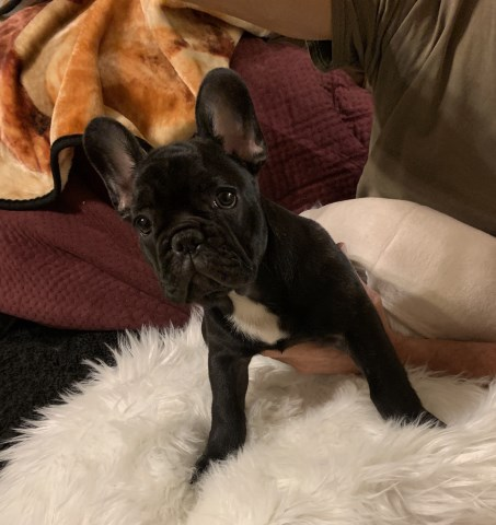 French Bulldog puppy for sale + 59805