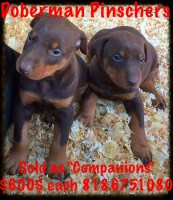 RED Doberman  Pinscher Puppies For Sale in Los Angeles Doberman Pinscher for sale/adoption