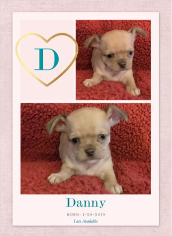 Teacup Shi Chi Teddy Bear Puppies for Sale