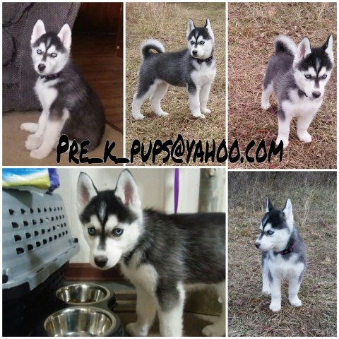 Showline Siberian Husky 7 weeks Akc full registration