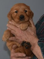 Quality AKC Dark Field Golden Retriever Male OFA Sire and Dame Ready Jan NW Ohio Golden Retriever for sale/adoption
