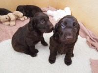 Flat Coated Retriever Puppies and Dogs for sale near you