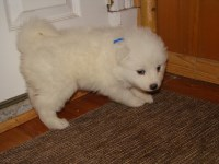 Samoyed Dogs and Puppies for Adoption