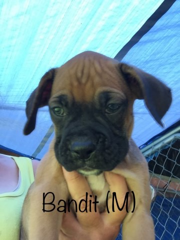 Boxer puppy for sale + 53169
