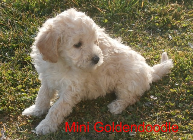 Goldendoodle puppy dog for sale in Gasport, New York