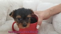 Yorkshire Terrier Puppy - Female - Baby ($2,199) Yorkshire Terrier for sale/adoption