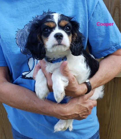 Cavalier King Charles Spaniel puppy for sale + 58072
