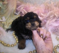Yorkie poo puppies for sale Yorkipoo for sale/adoption
