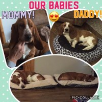 Basset Hound Dogs and Puppies for Adoption