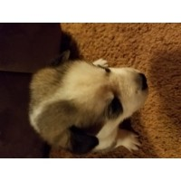Siberian Huskies Pups Siberian Husky for sale/adoption