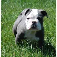 Puppies Dogs For Sale Adoption In Ohio Freedoglistings Page 6