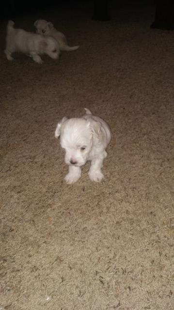maltese puppy for sale in illinois maltese puppy dog for sale in rockford illinois 8515