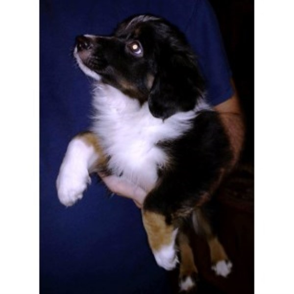 Miniature American Shepherd Puppies For Sale