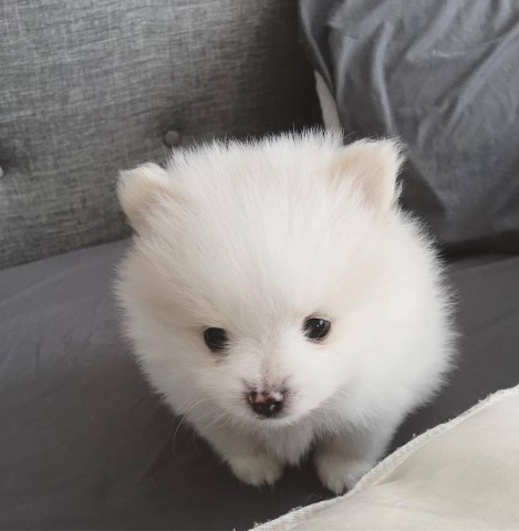 Pomeranian Puppy For Sale- Yogurt
