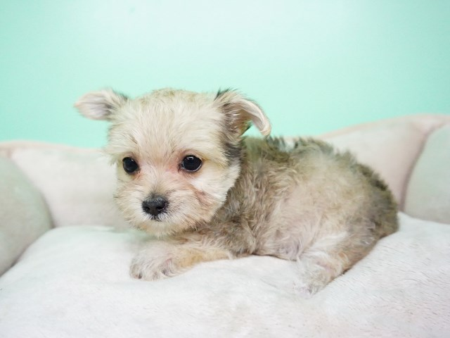 Morkie puppy dog for sale in Oklahoma USA
