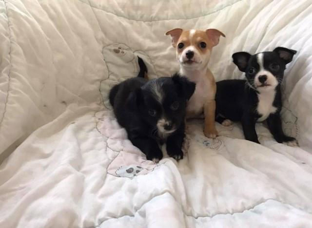 Yorkshire Terrier puppy dog for sale in Cincinnati, Ohio