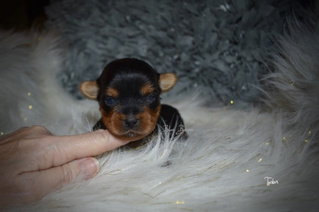 Yorkshire Terrier puppy for sale + 55182