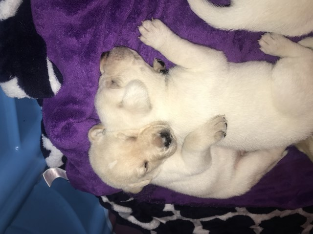 Labrador Retriever Puppy Dog For Sale In Jacksonville Florida
