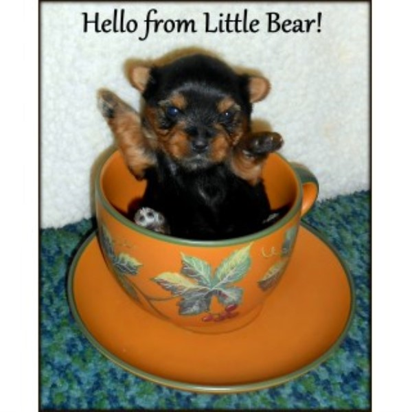 Yorkshire Terrier Puppy Dog For Sale In Edmore Michigan