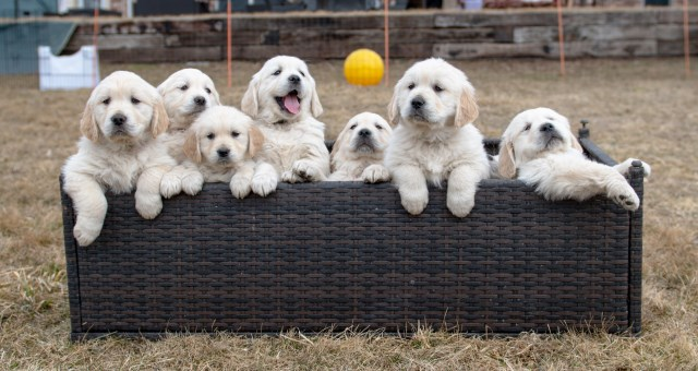 English Golden Retrievers