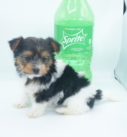 Yorkshire Terrier puppy for sale + 61492