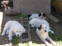 Great Pyrenees Puppies Great Pyrenees for sale/adoption