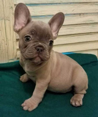 French Bulldog puppy for sale + 52060