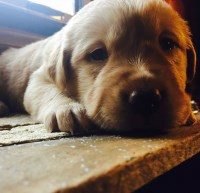 Pure bred Champion blood line AKC registered Labrador puppies. Labrador Retriever for sale/adoption