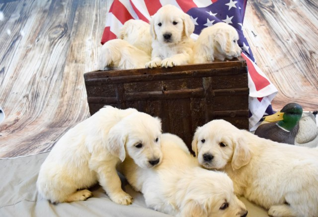 Golden Retriever Puppy Dog For Sale In Grand Junction Colorado