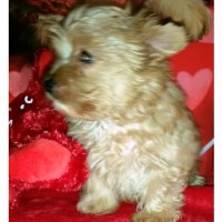 AKC Blonde Yorkie Male Yorkshire Terrier for sale/adoption