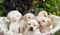 Yellow Labrador Retriever Puppies For Sale Labrador Retriever for sale/adoption