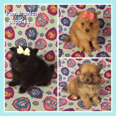 Pomeranian Puppy Dog For Sale In Clarksville Tennessee