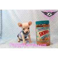 Cute Teacup Chiweenie Puppies (chihuahua/dachshund) Available In Las Vegas/henderson!!!! Chihuahua for sale/adoption