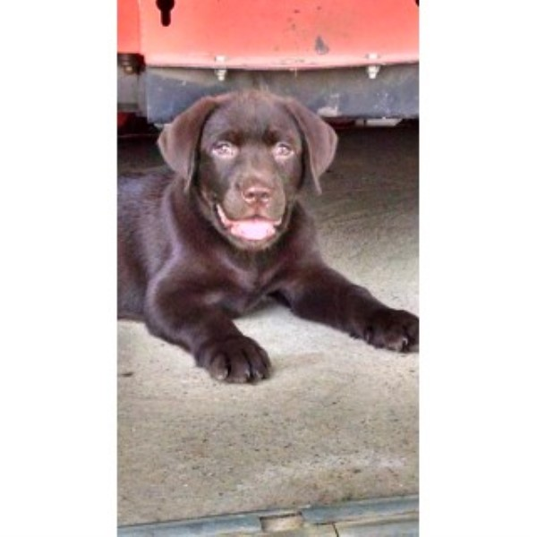 Purebred AKC English Chocolate Labrador Male Pup For Sale