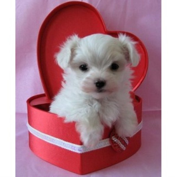Maltese puppy for sale + 46935