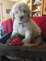 Poodle Standard Dogs and Puppies for Adoption