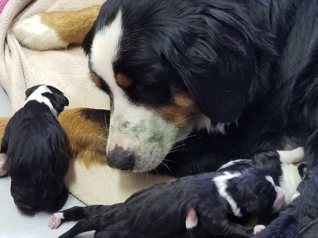 Bernese Mountain Dog Puppy Dog For Sale In Menifee California