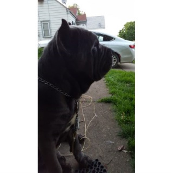 Cane Corso Puppies W/ Top Of The Line Pedigree!! Cane Corso for sale/adoption