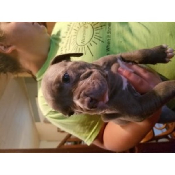 Pit Bull Puppies For Sale American Pit Bull Terrier for sale/adoption