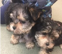 Stunning Morkie Puppies Morkie for sale/adoption