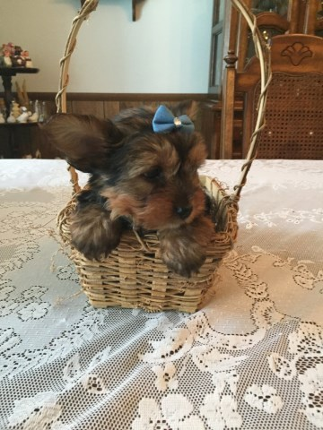 CKC ADORABLE 9 WEEK OLD MALE YORKSHIRE TERRIER