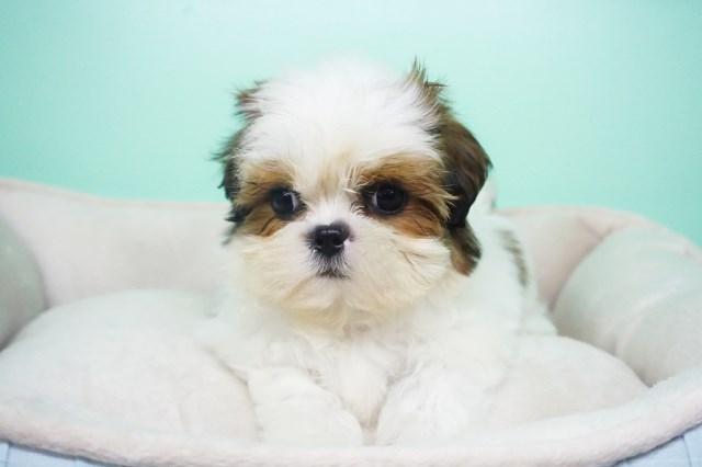 Shih Tzu Puppy Dog For Sale In La Mirada California
