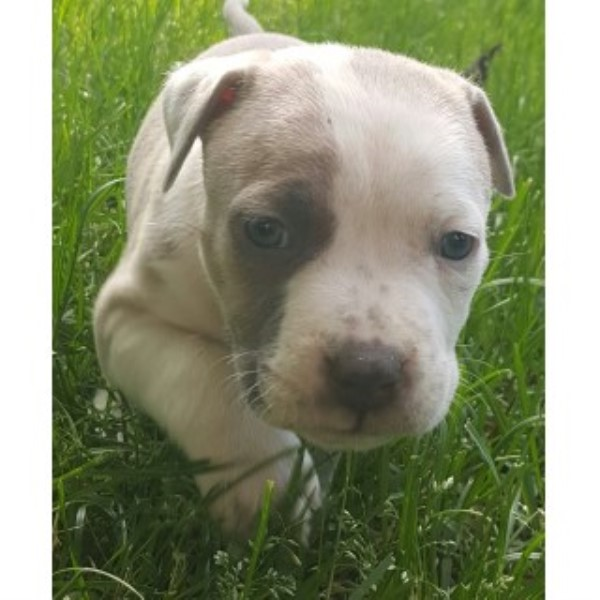 American Pit Bull Terrier puppy dog for sale in Coon Rapids, Minnesota