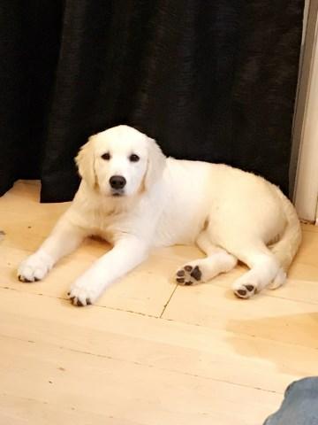 Golden Retriever Puppy Dog For Sale In Poplar Grove Illinois