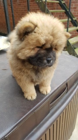 Chow Chow puppy dog for sale in Bakersfield, California