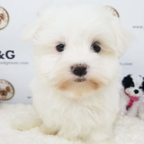 Maltese puppy for sale + 53652