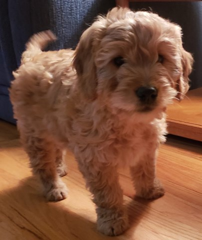 Goldendoodle puppy dog for sale in Milford, Michigan